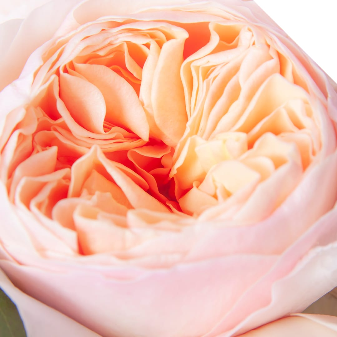 A beautiful close up of a garden rose