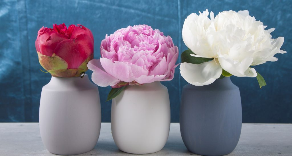 peonies paeonias holland flowerwiki holex flower blog