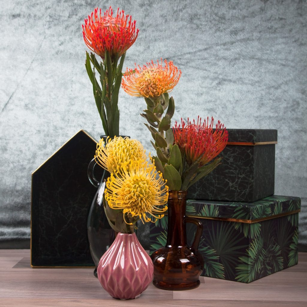 pincushion leucospermum flowerwiki holex flower blog