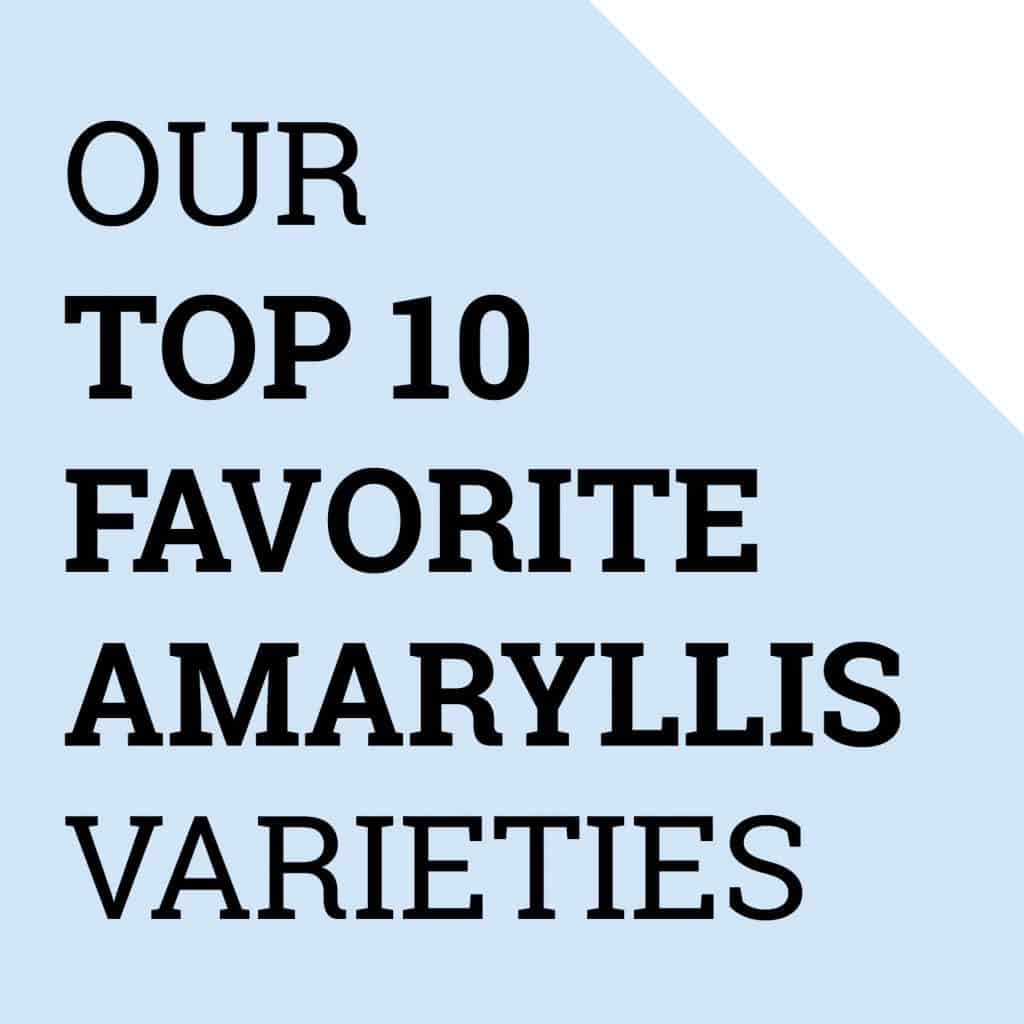 Amaryllis top 10