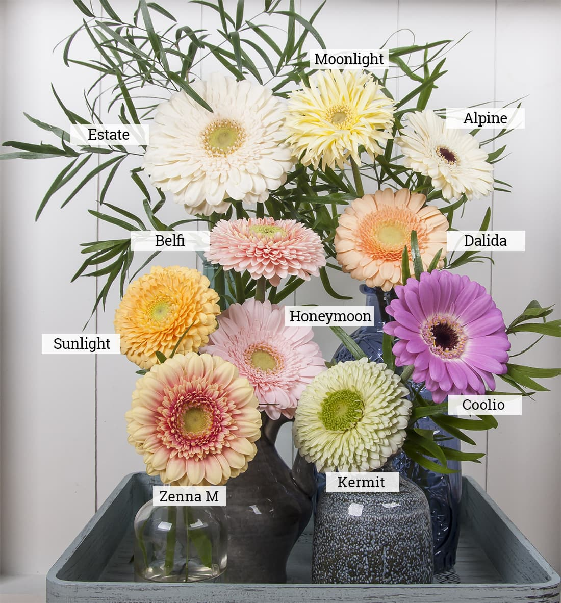 Our Top 10 Favorite Pastel Gerbera Varieties [2017]