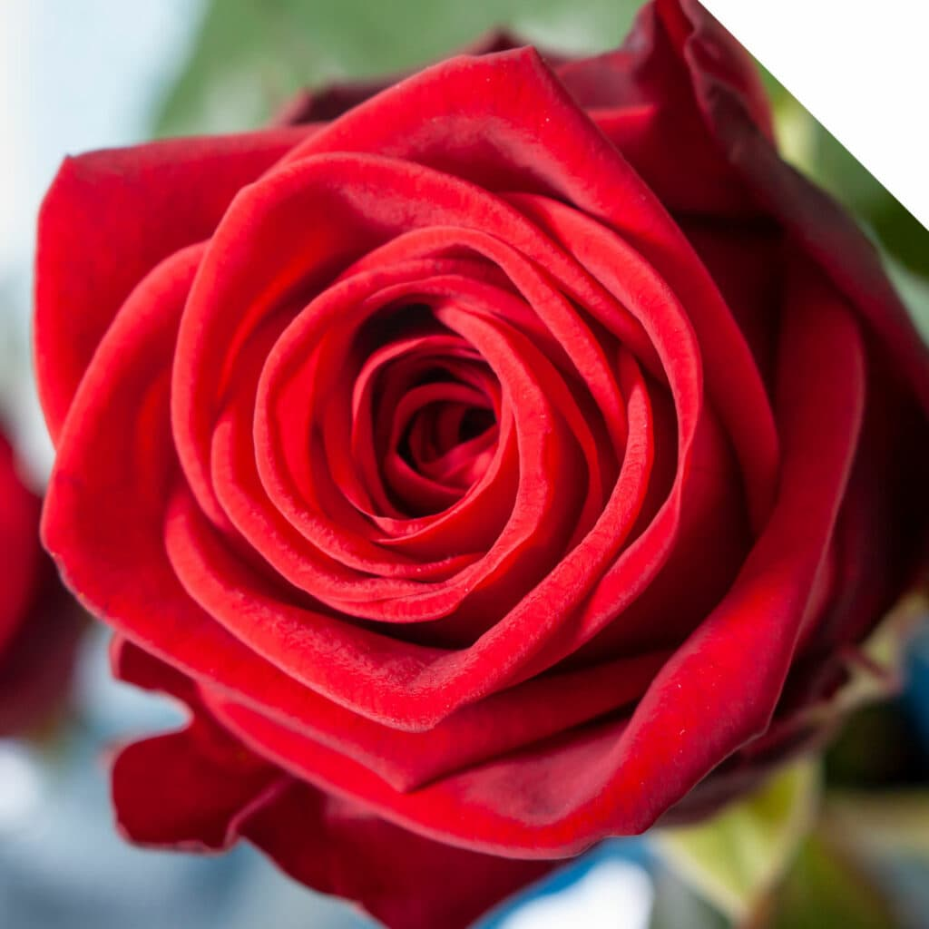 What is the meaning behind roses and valentine's day?