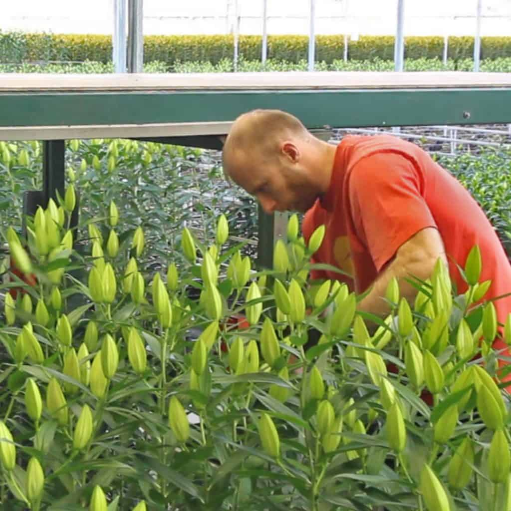 How It Works: Lily Cultivation in Holland