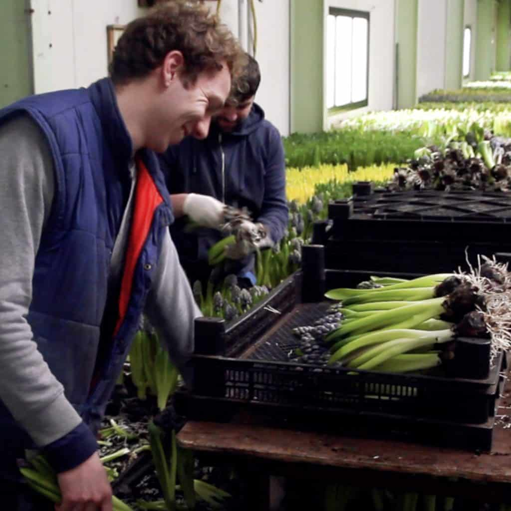 How Hyacinth is grown in Holland