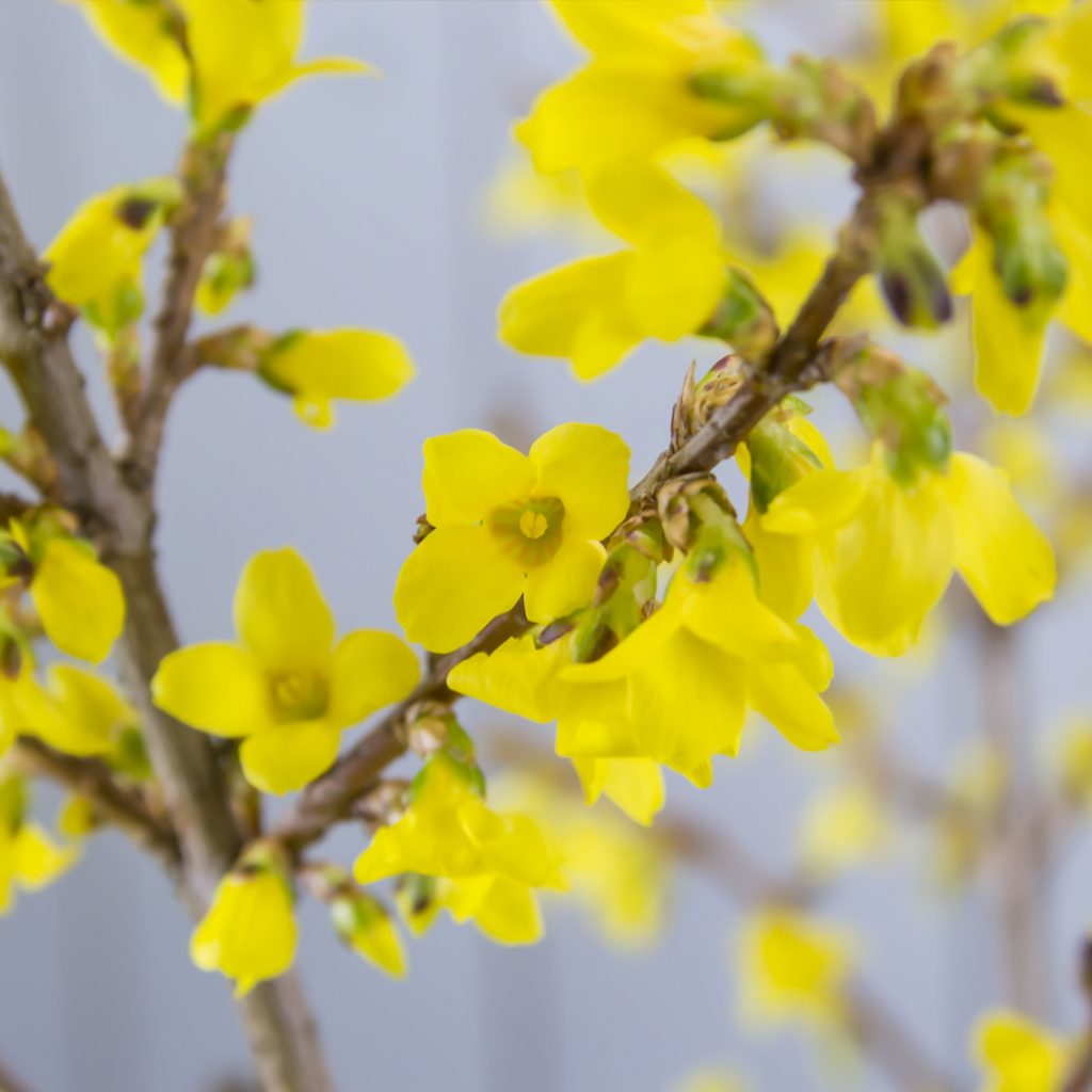Forsythia | #flowerwiki | Holex Flower