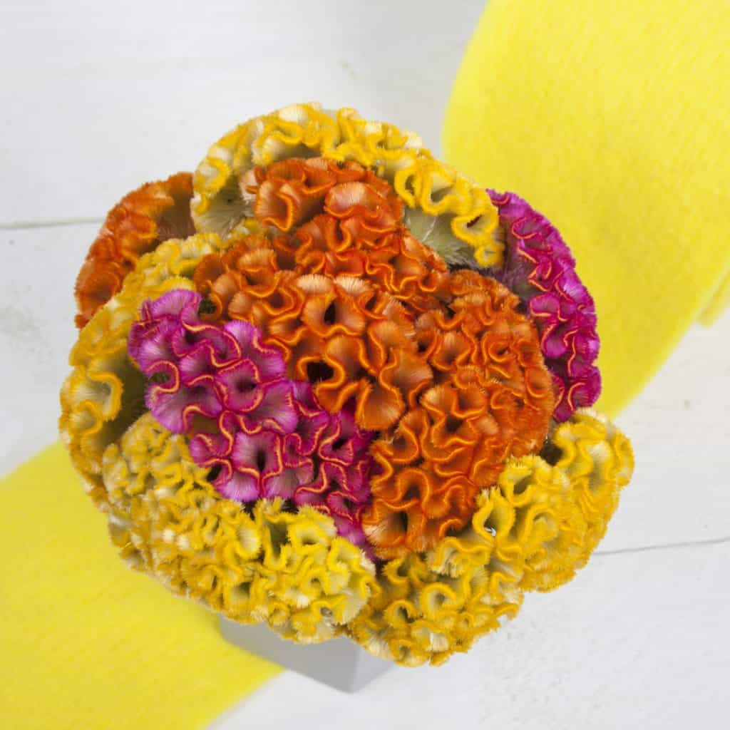All about Celosia | Holex Flower