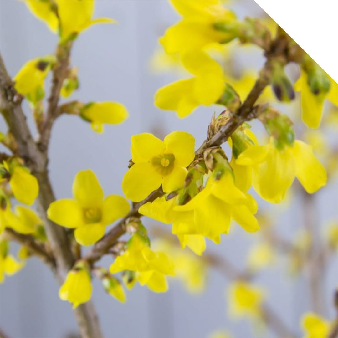 Forsythia yellow