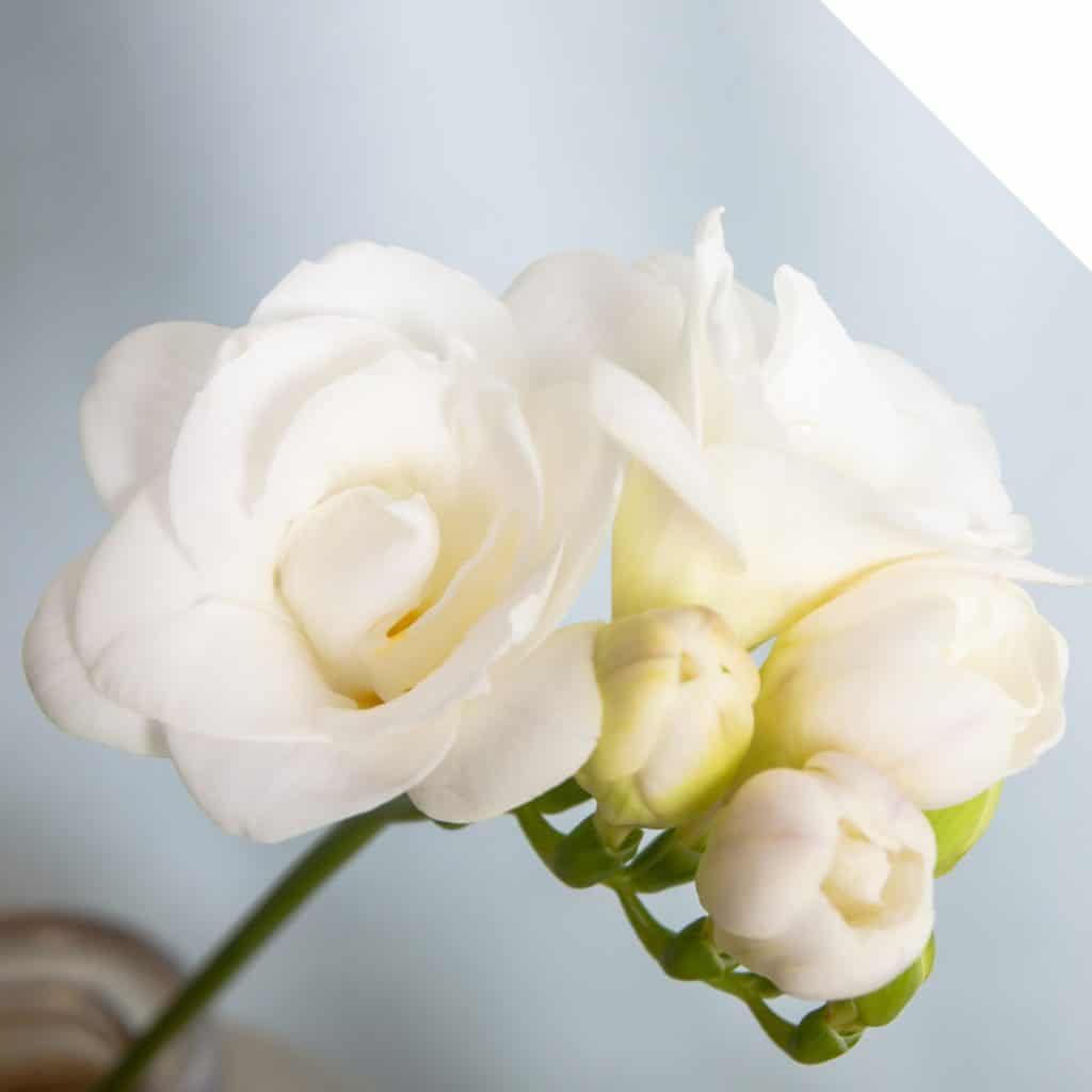 All About Freesia | Holex Flower