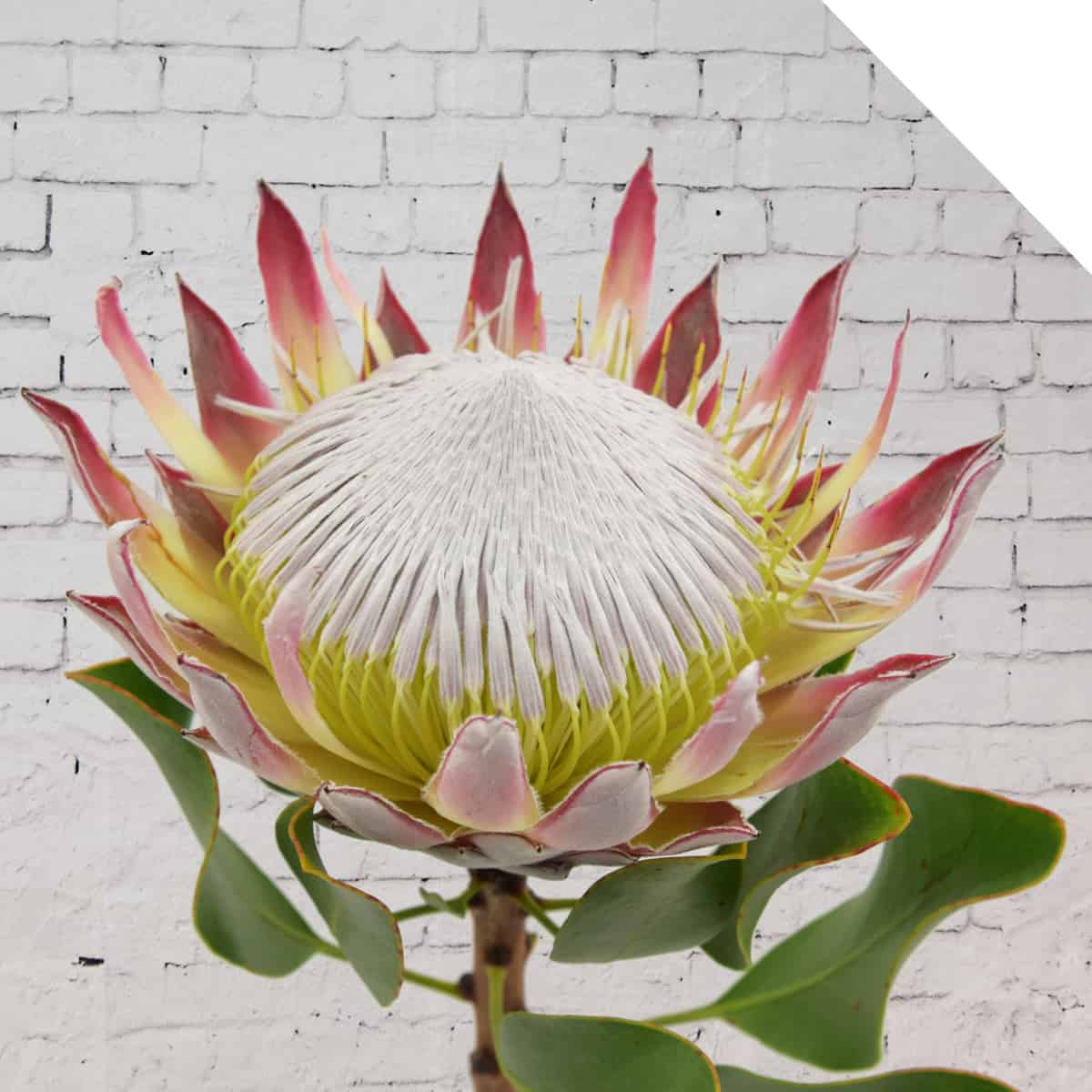 Protea | Holex USA