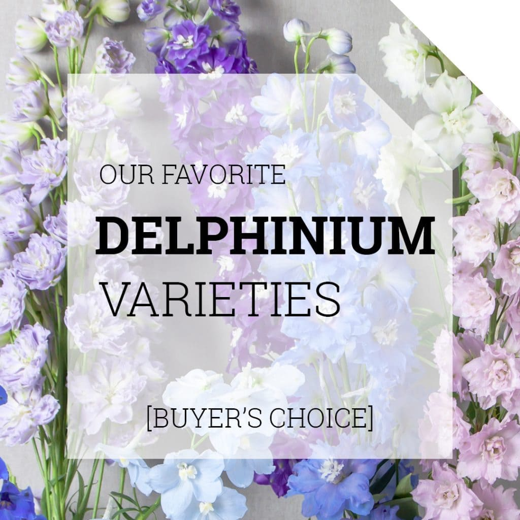 Our Favourite Delphinium Varieties Thumbnail