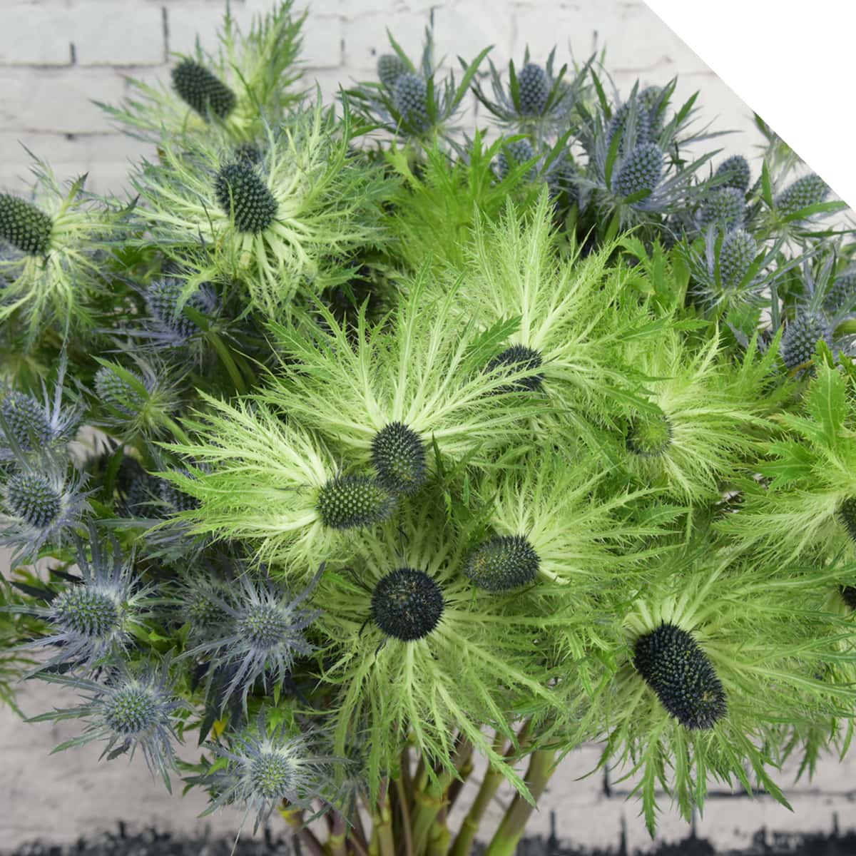Eryngium Varieties | Holex Flower