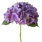Hydrangea Glowing Alps Classic Purple | Holex Flower