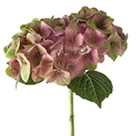 Hydrangea My Beautiful Inferno | Holex Flower