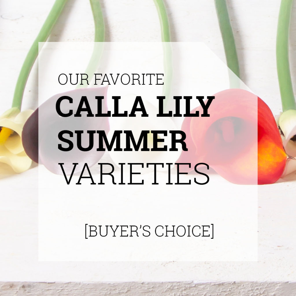 Favorite Calla Varieties | Holex Flower
