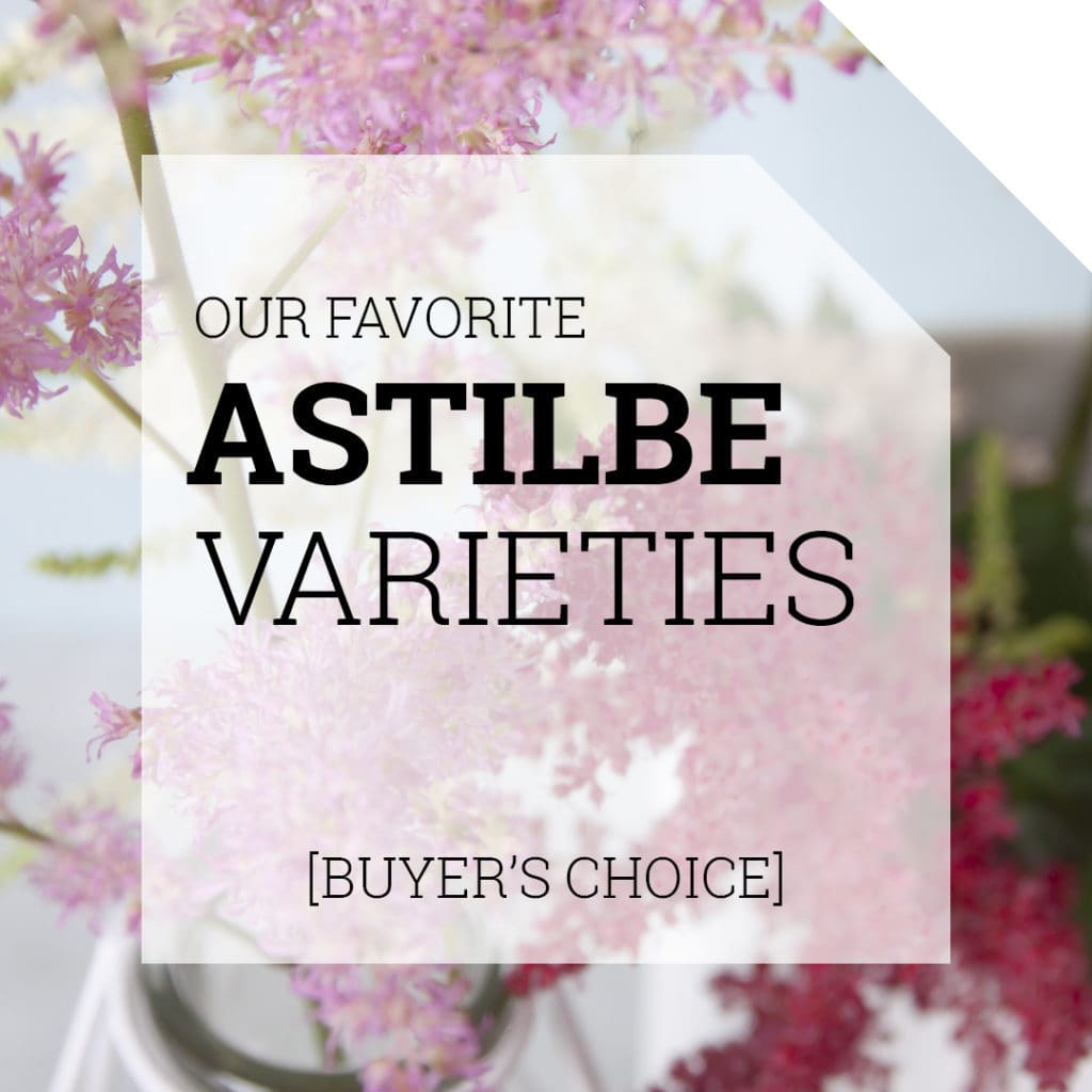 Astilbe Varieties | Holex Flower