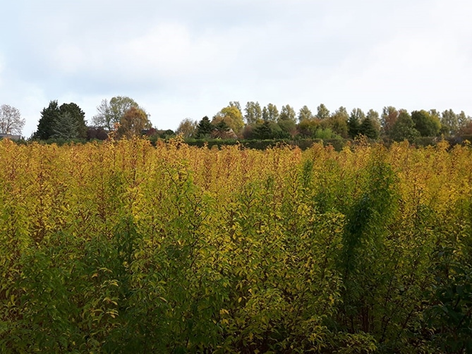 Forsythia Field | Holex Flower
