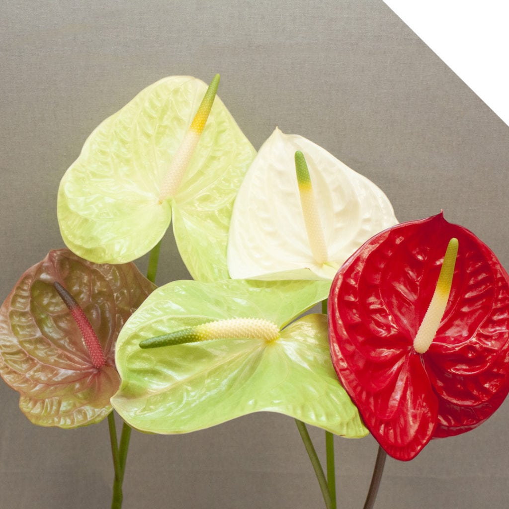 Fiore Anthurium | Holex Flower