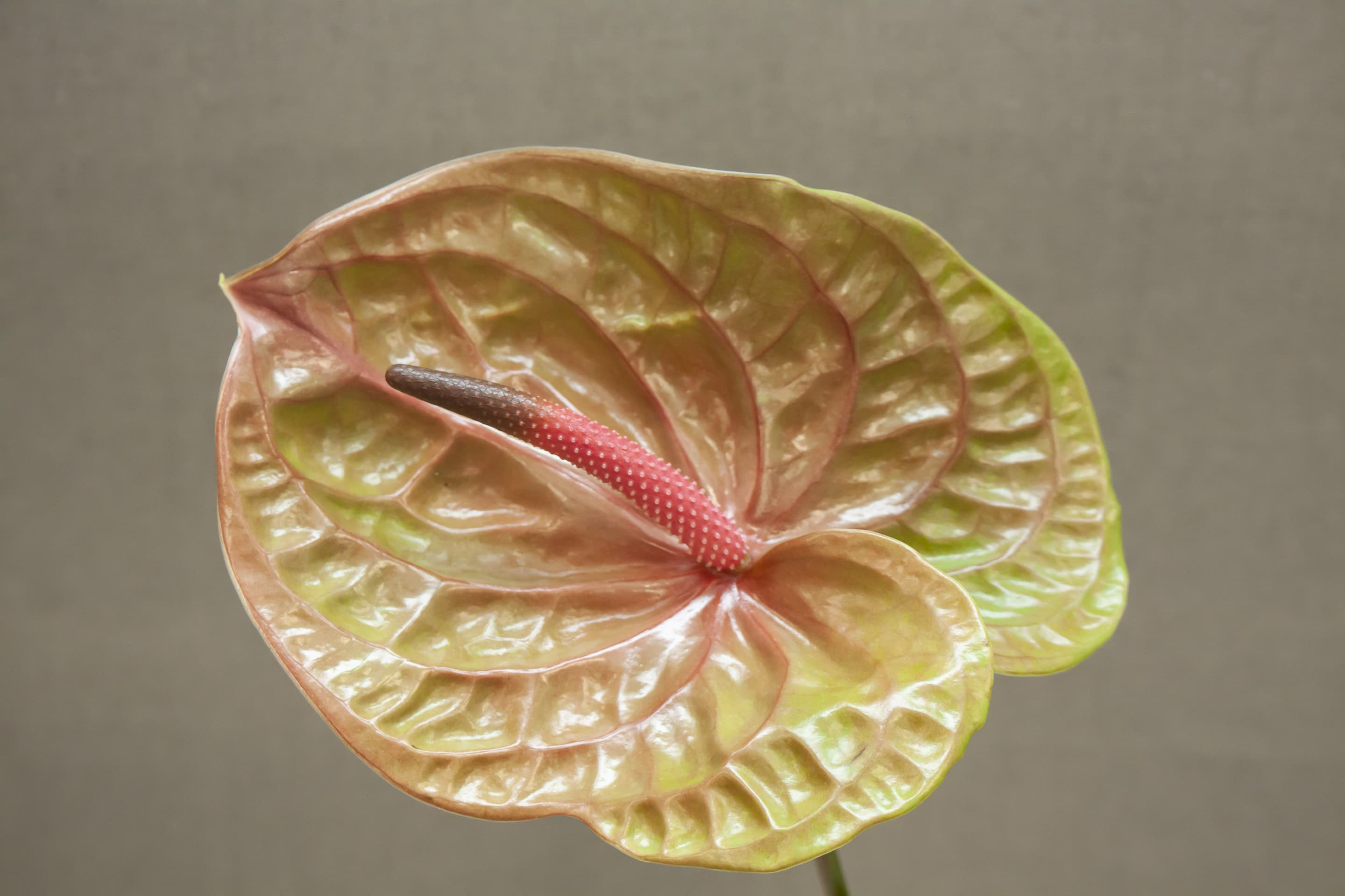 Fiore Anthurium Front | Holex Flower