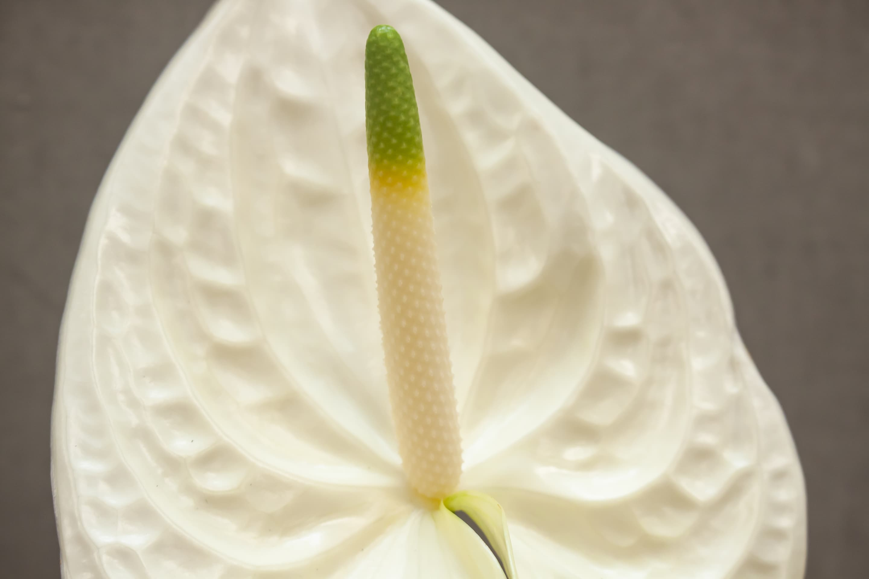 Fiore Anthurium White | Holex Flower
