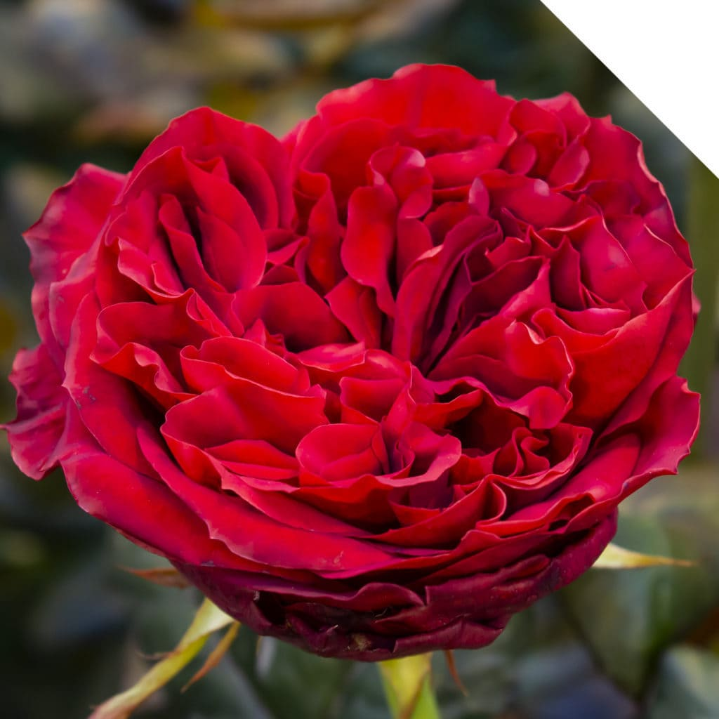 Rose Red Elegance | Holex Flower