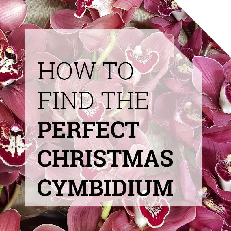 The best Christmas Cymbidium