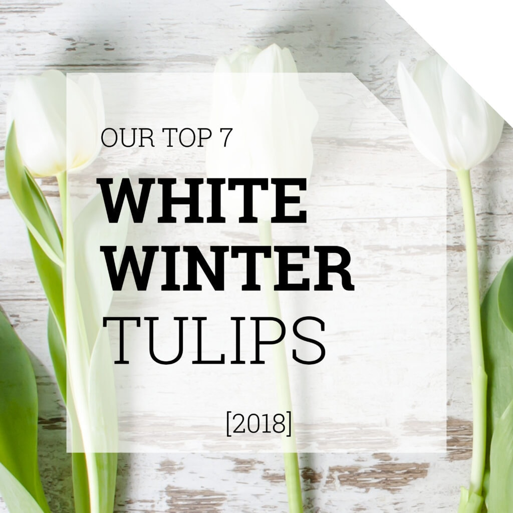 White Tulips | Holex Flower