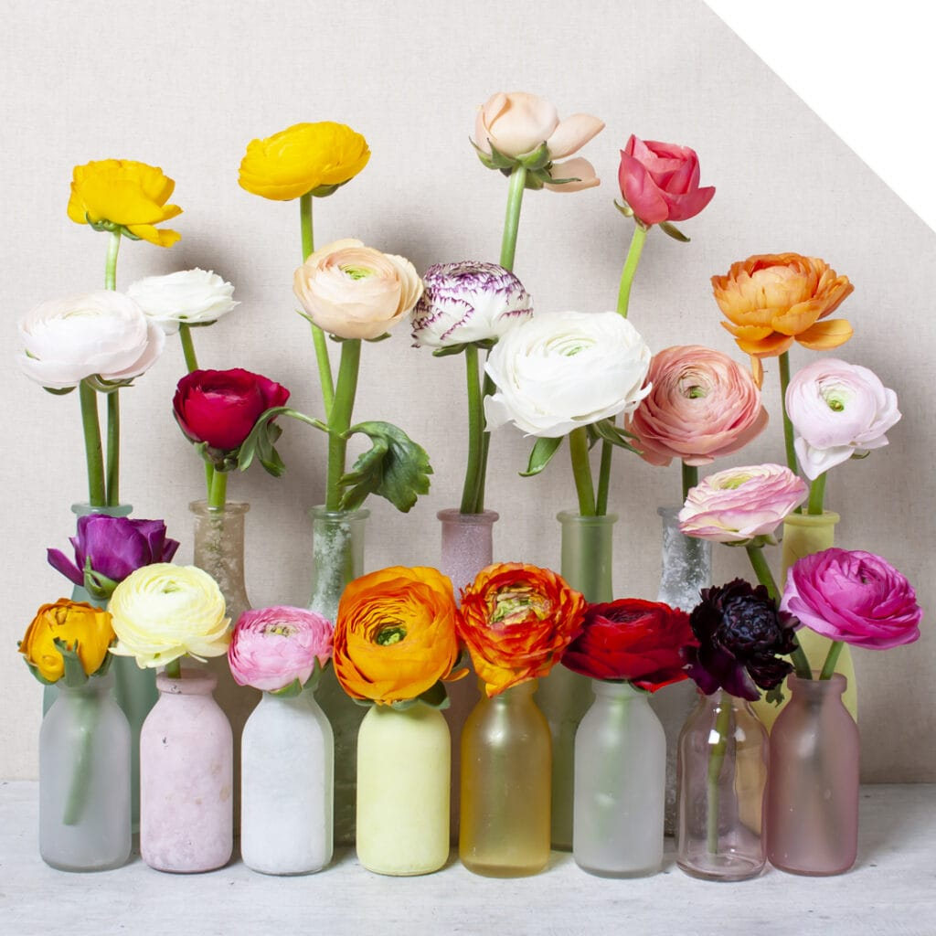 For every floral design there's a matching Cloony Ranunculus!