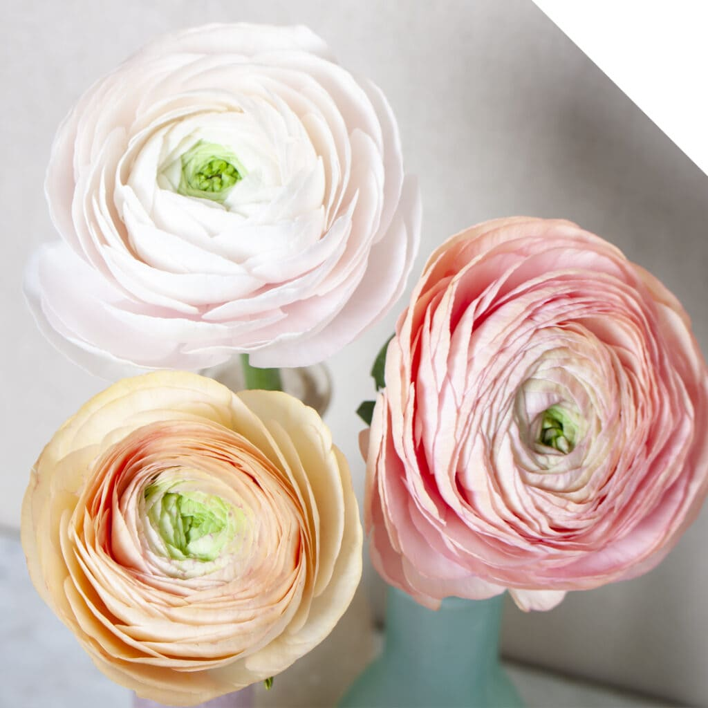 Stunning vintage pastel-colored Cloony Ranunculus varieties Hanoi, Rosa 418, and Blushing Pascal.