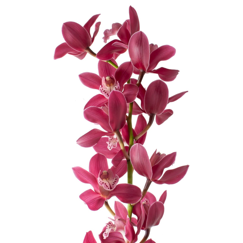 Red Cymbidium with a light pink lip and very light stripes on the leaves