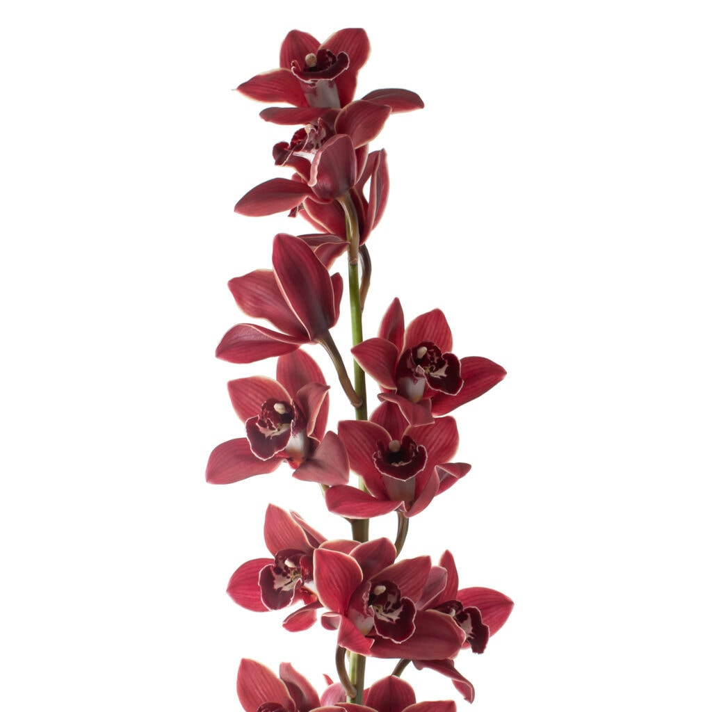 A red but also almost brown Cymbidium Medium variety with a dark stem