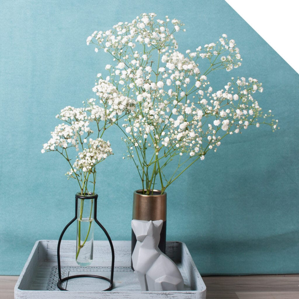 Gypsophila Xlence VS Million Stars