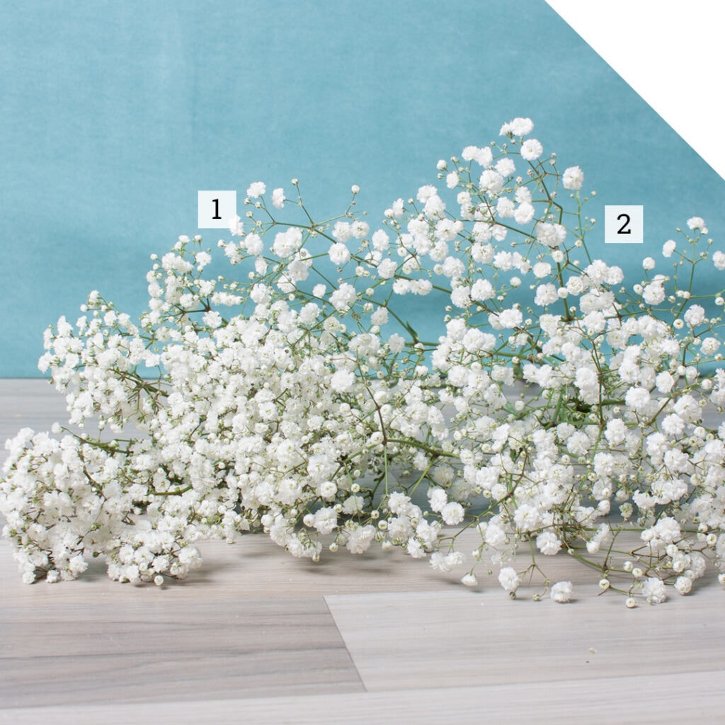 The Difference Between Gypsophila Xlence and Million Stars | Holex Flower