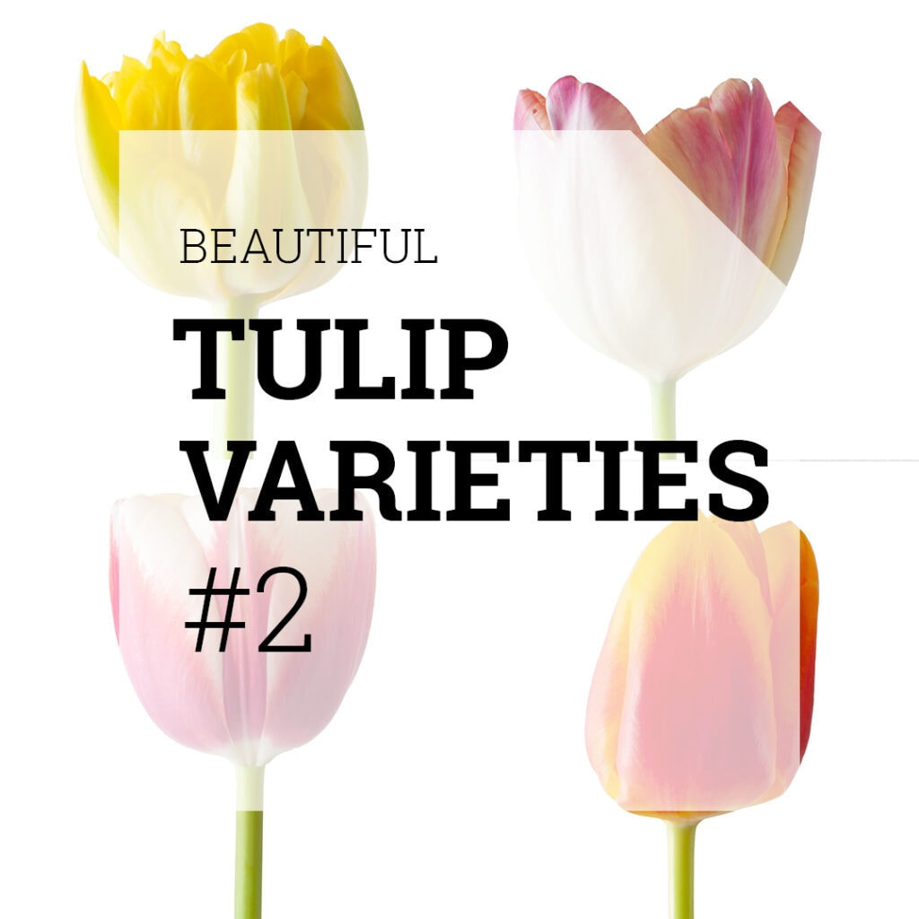 Beautiful Tulip Varieties 2 | Holex Flower
