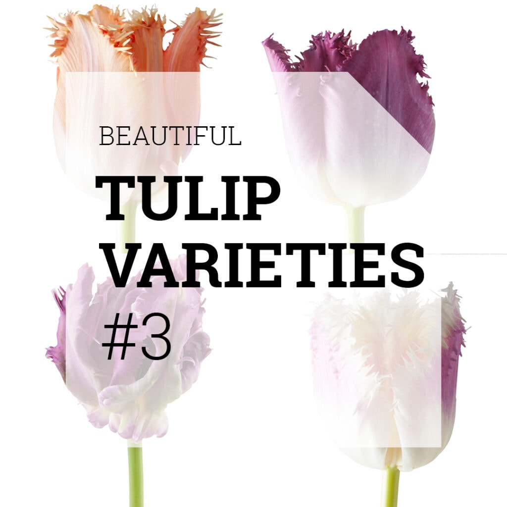 List of Beautiful Tulip Varieties that you can use in your designs