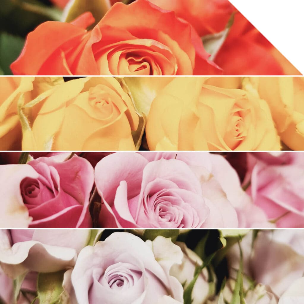 What Color Roses Symbolize for Valentine's Day | Holex Flower