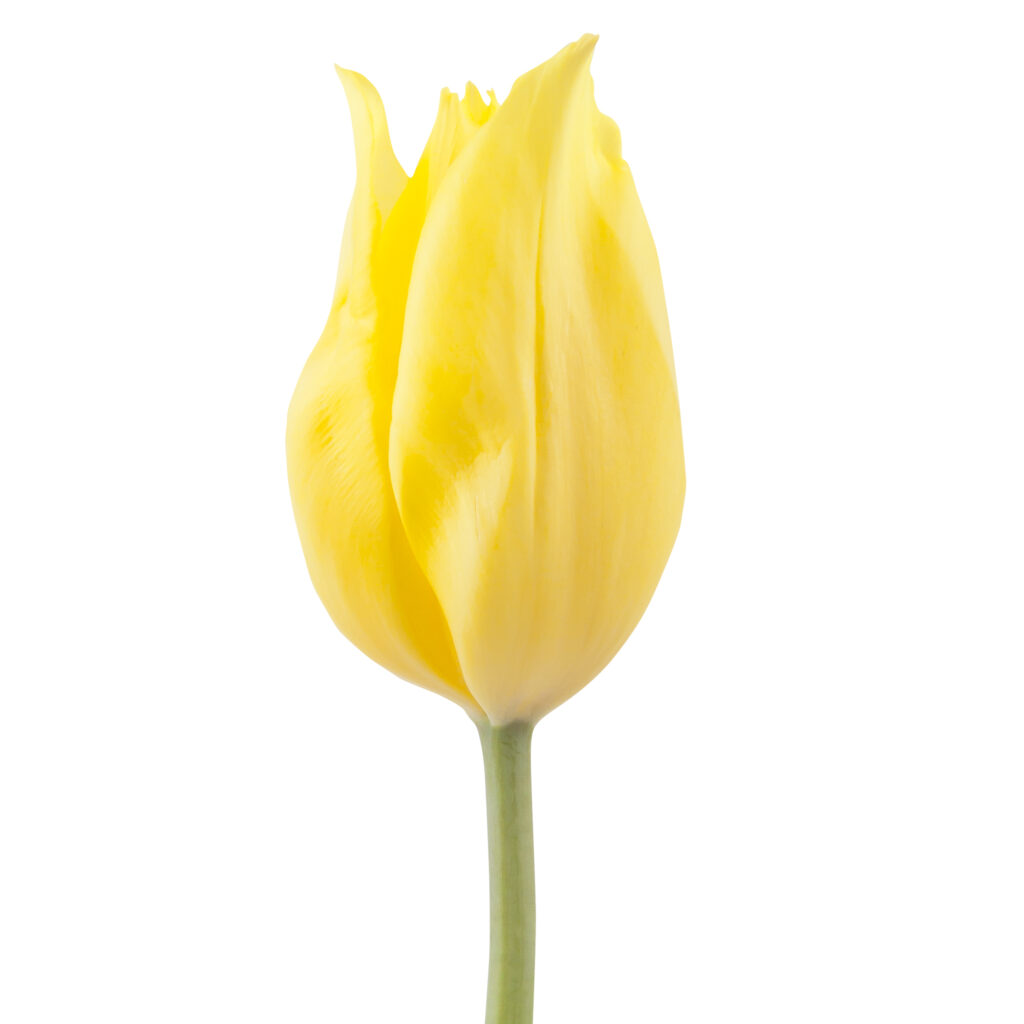 Strong Gold Tulip