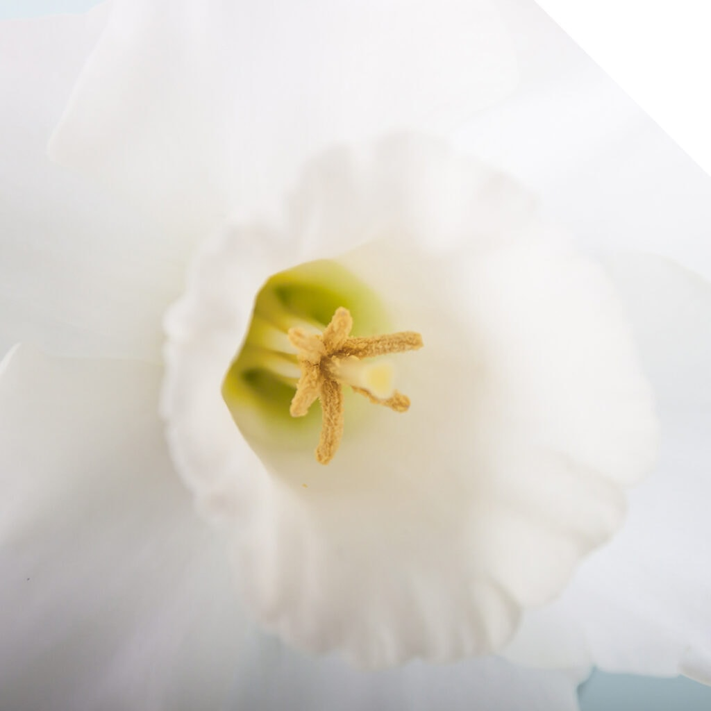 White Daffodil close up