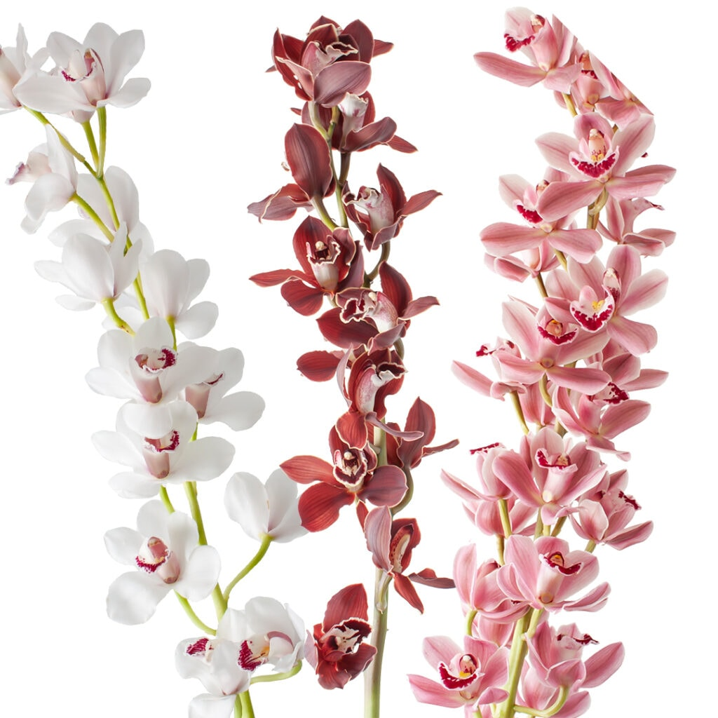 Perfect Cymbidiums for Mother's Day