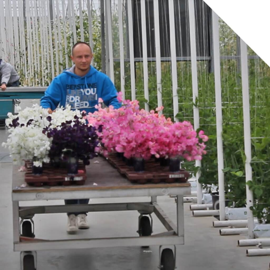 Lathyrus Grower Visit | Holex Flower