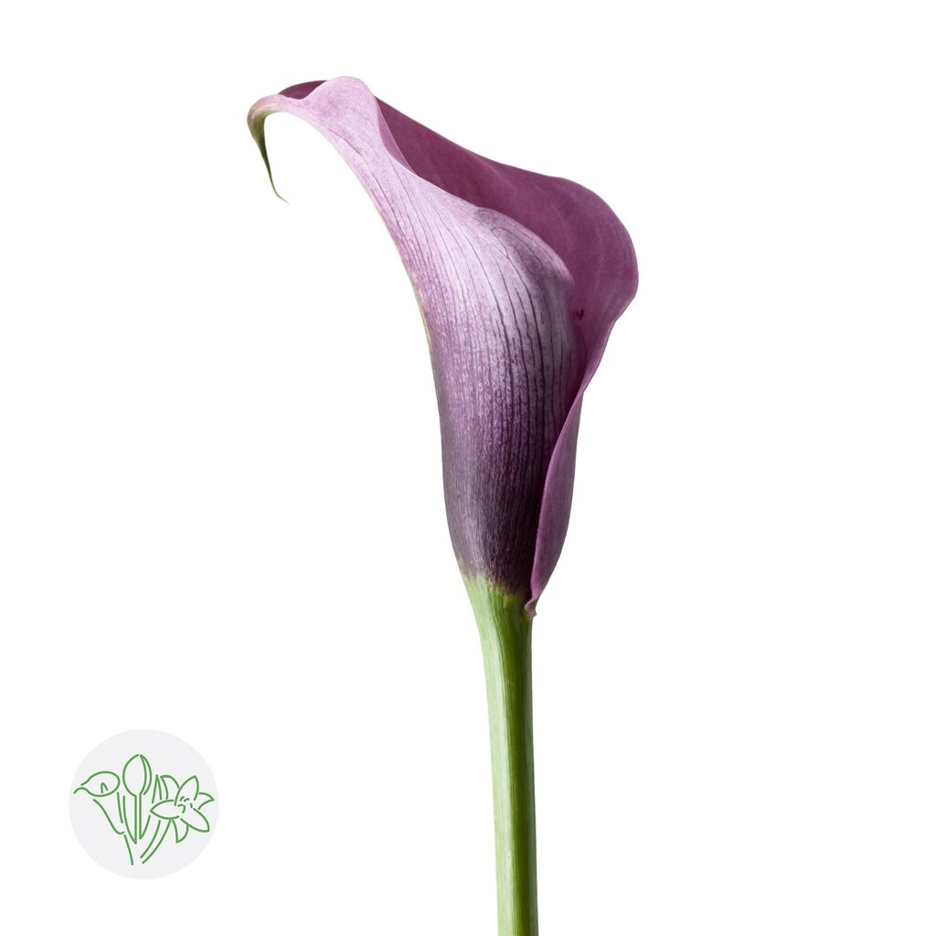 Calla Accent | Holex Flower