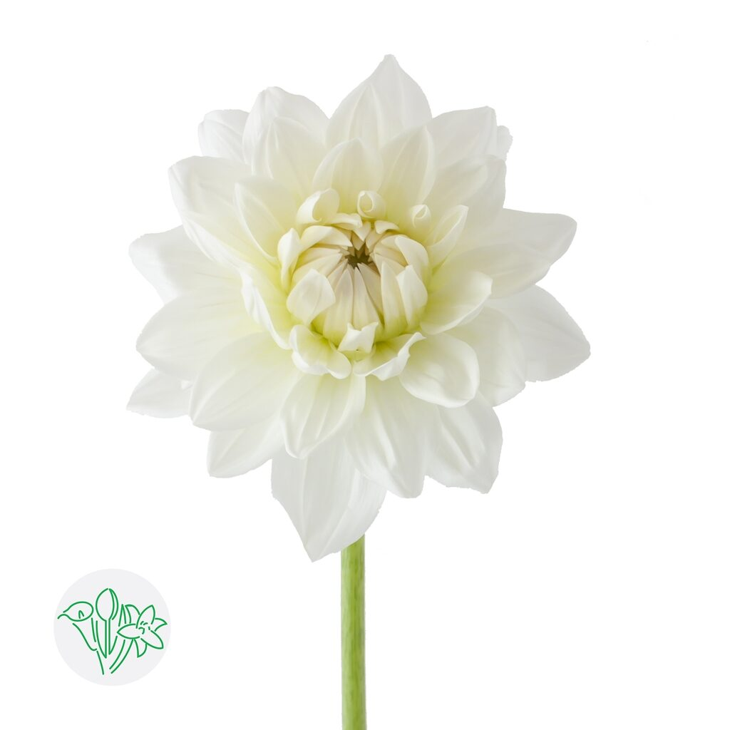 Dahlia White Ballet | Holex Flower