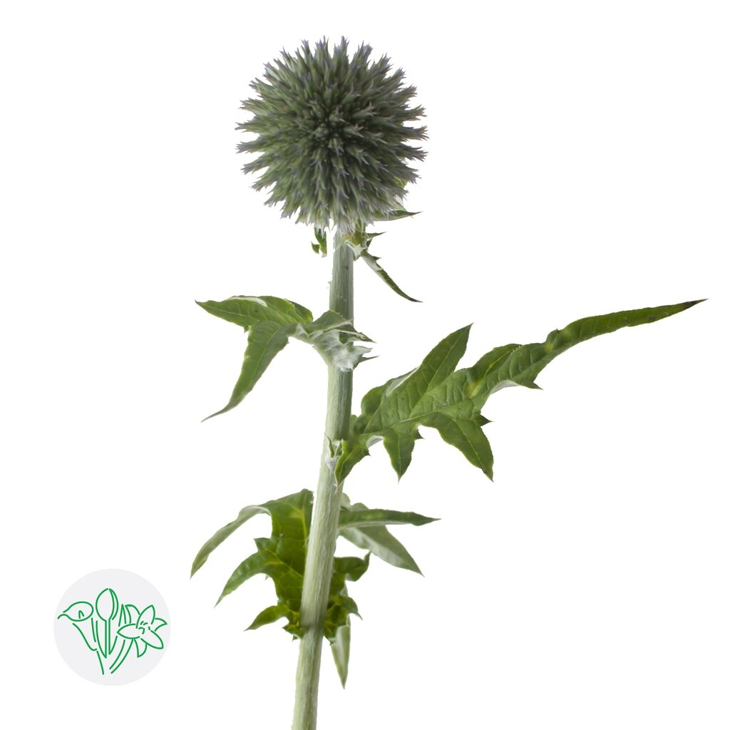 Echinops Blue Globe | Holex Flower
