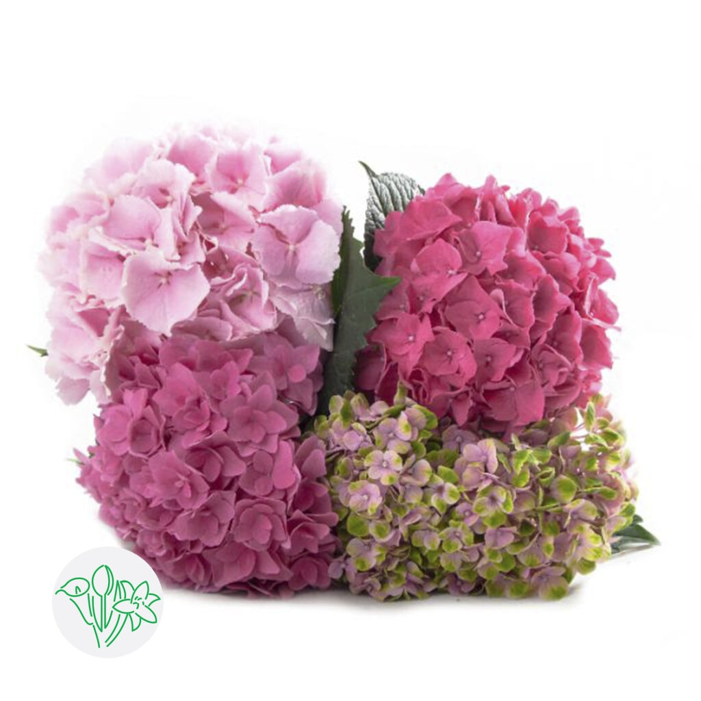 Hydrangea Pink Assorted | Holex Flower