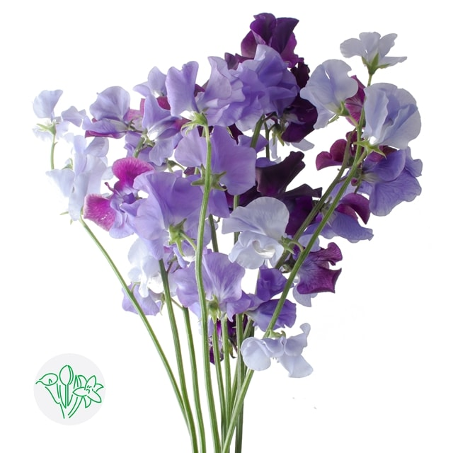 Lathyrus Moon Mixed | Holex Flower