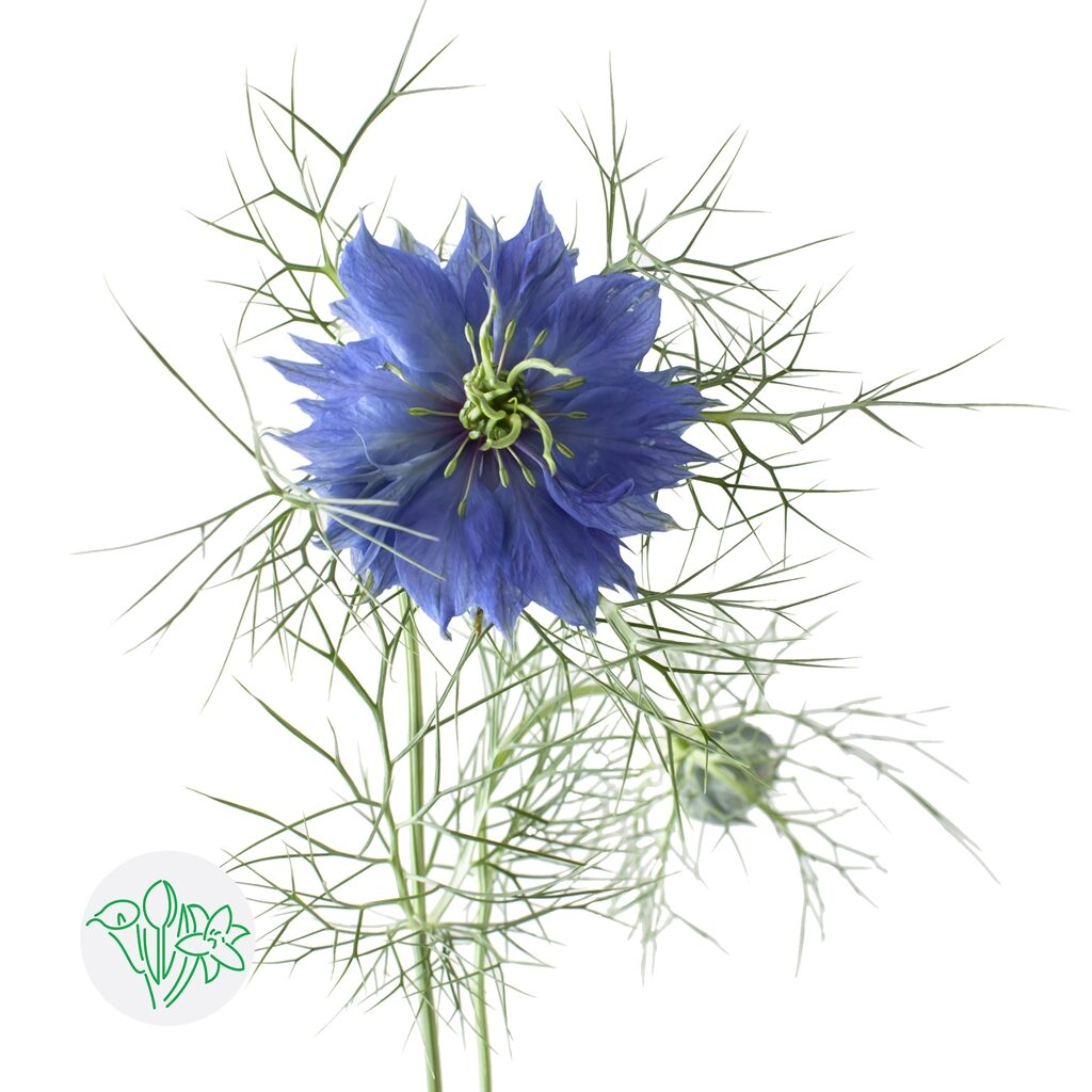 Nigella Blue | Holex Flower
