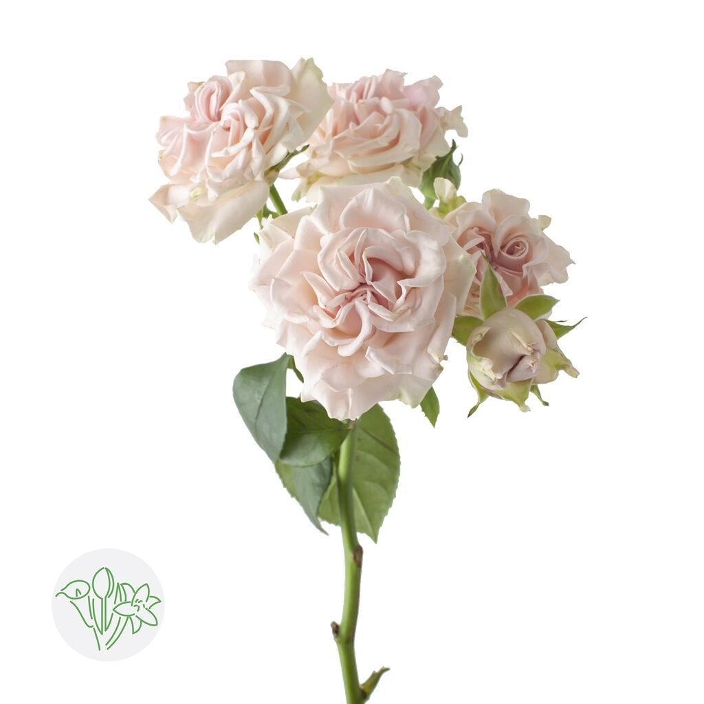 Rosa Spray Sweet Flow | Holex Flower