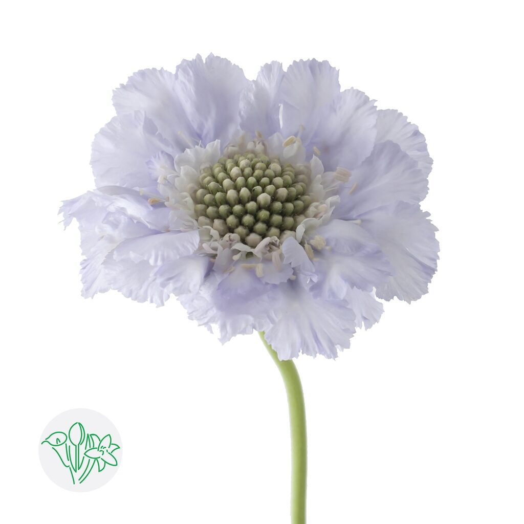 Scabiosa Lisa | Holex Flower