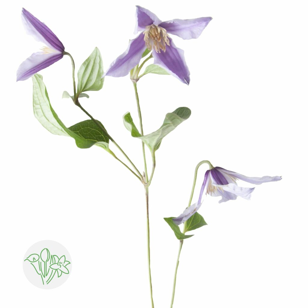 Clematis is the symbol of calming flowers