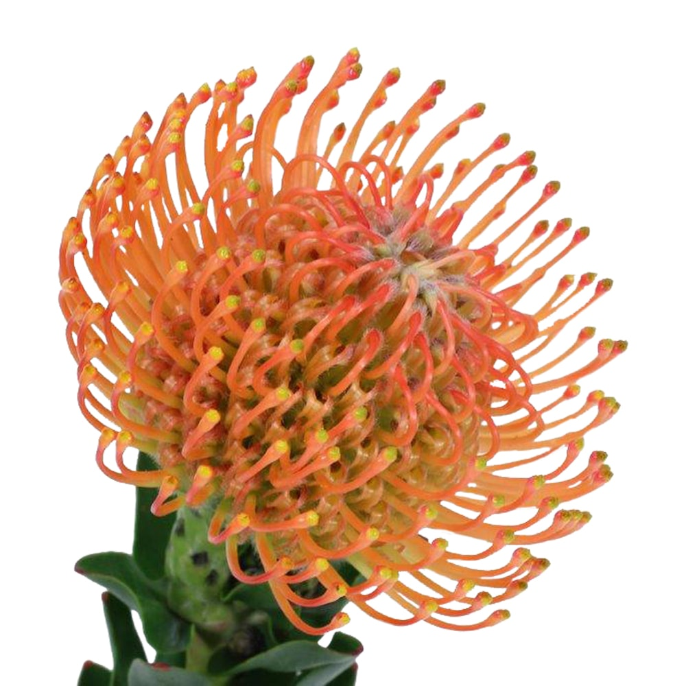 Pincushion Ayoba Orange | Holex Flower