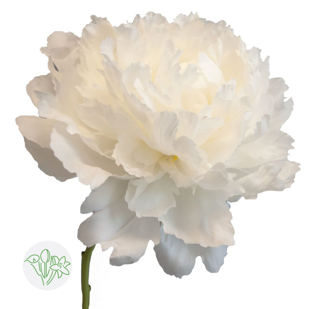 Peony Bowl of Cream available at Holex Flower